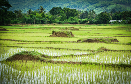 planting rice on rainy season Asian agriculture  The Farmer planting on the organic paddy rice farmland Reklamní fotografie