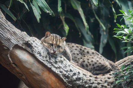 Fishing cat lying on the branch tree in the jungle  Prionailurus viverrinus