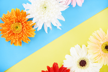 Gerbera and Chrysanthemum spring flowers fresh on flower frame composition tropical plant on colorful blue and yellow background