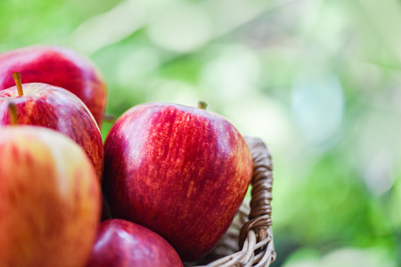 Fresh Red Apples Orchard  harvest apple in the basket collect fruit garden nature green background
