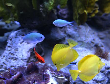 Zebrasoma flavescens - Yellow Tang fish in aquarium / coral reef fish
