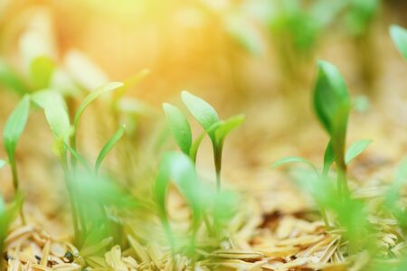 Young plant growth on neutral green with light in the morning  Agriculture new plant seeding growing on soil in the garden Stock Photo