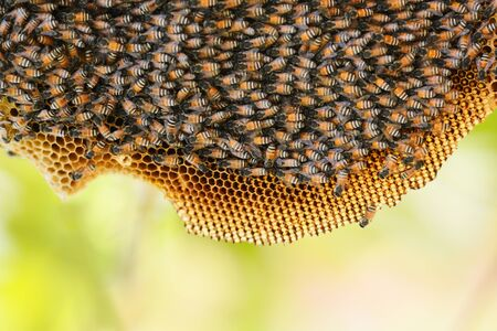 honeycomb on tree nature and swarm honey bee on comb beehive Stock Photo