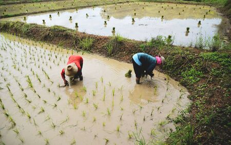 Farmer planting on the organic paddy rice farmland  planting rice on rainy season Asian agriculture 写真素材