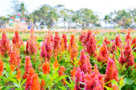 Orange plumed cockscomb or Celosia argentea blossom in the colorful garden spring flower
