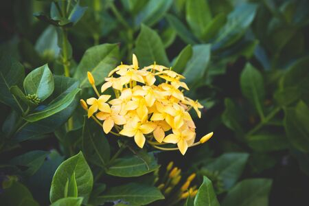 King Ixora yellow flower blooming in the garden beautiful nature green background  Chinensis Ixora coccinea 写真素材