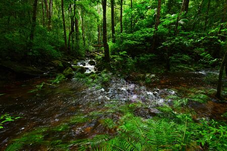 Rainforest jungle with rock and green mos and ferns tropical leaves foliage in the wild forest  Mountain river stream waterfall green tree landscape nature