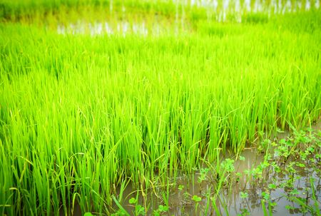 planting rice on rainy season Asian agriculture  The Farmer planting on the organic paddy rice farmland 写真素材