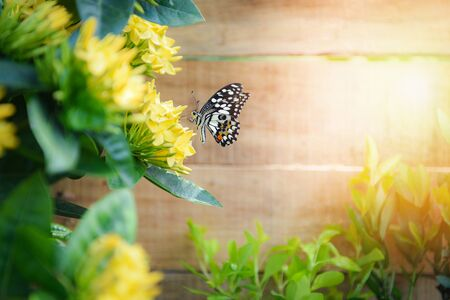 butterfly flower Ixora yellow blooming in the garden wooden background in summer sunny bright day at back yard