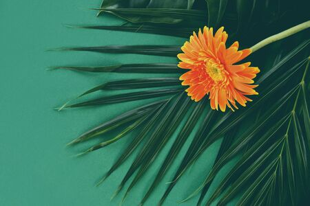 Oreang gerbera flowers on fresh palm leaves tropical plant on green background