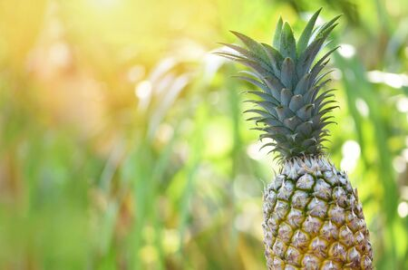 Fresh pineapple on nature background  Close up pineapple tropical fruit summer