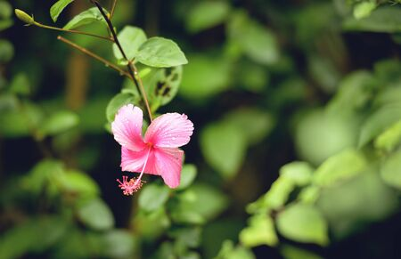 Pink hibiscus flower with green blur background in the tropical garden