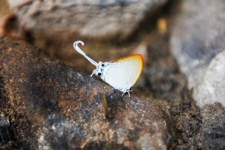 Long tailed butterfly / Strange insects with white butterfly Orange wings and tail on the rock in the nature forest Фото со стока