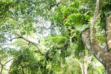 Platycerium ferns plant staghorn or elkhorn fern growing on branch tree in the forest Foto de archivo