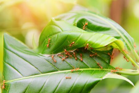 Ant nest on the tree / Red ants working weaver nest with green leaves on the nature forest on summer Stock Photo