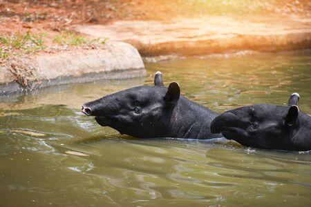 tapir swimming on the water in the wildlife sanctuary / Tapirus terrestris or Malayan Tapirus Indicus
