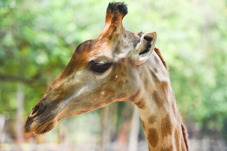 Close up of a giraffe in front and funny on nature green tree background in the national park
