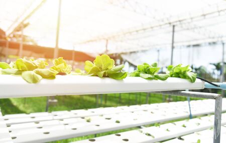 Fresh lettuce salad green growing garden hydroponic farm plants on water without soil agriculture outdoors organic for health food / Vegetable hydroponic system