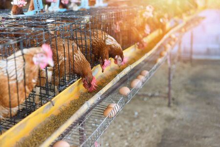 Hen in cage agriculture on indoors chicken farm product for fresh egg chicken Stock Photo