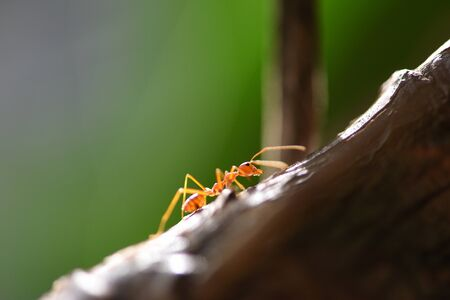 Ant action standing on tree branch / Close up fire ant walk macro shot insect in nature red ant is very small selective focus and free space Stock Photo