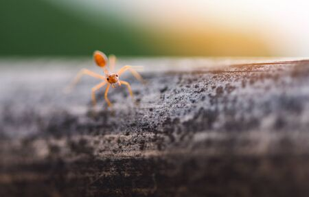 Ant action standing on tree branch with morning sunlight  Close up fire ant walk macro shot insect in nature red ant is very small selective focus