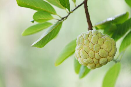 Sugar apple or custard apple on tree in the garden tropical fruit nature green background  Annona sweetsop