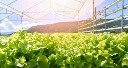 young and fresh lettuce salad green oak growing garden hydroponic farm plants on water without soil agriculture outdoors organic for health food  green house vegetable hydroponic system