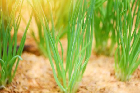 small plant onion sprouts green seedling in the agriculture vegetable garden  shallots growing from soil