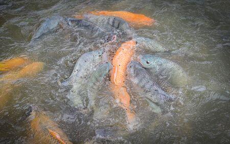 Freshwater fish farm  Golden carp fish tilapia or orange carp and catfish eating from feeding food on water surface ponds Imagens