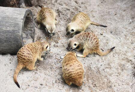 Meerkat the sentinel of the desert  Group of meerkat eating on sand