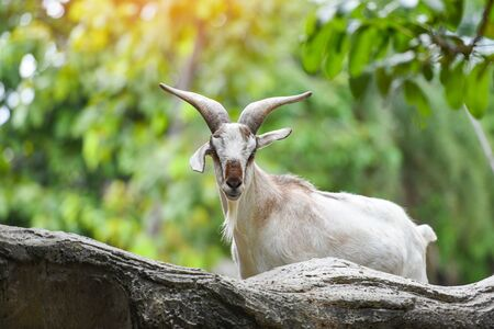 Male feral mountain goat walking on rocks  Goat with horns on a farm