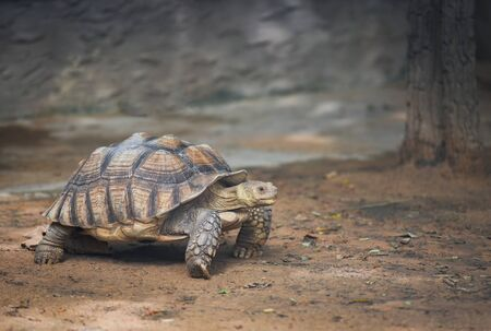 African spurred tortoise / Close up turtle walking - selective focus Stock Photo