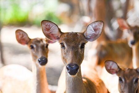 Elds deer or Panolia eldii , Thamin , Brow-antlered deer in the farm national park Banco de Imagens