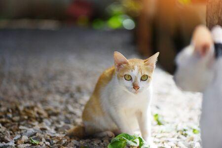 White and orange cat  tabby ginger cat