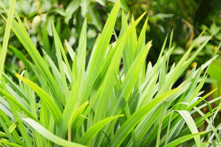 pandan leaf plant growing on the pandan tree for natural herbs and food