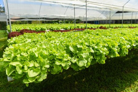 Vegetable hydroponic system  young and fresh green oak lettuce salad growing garden hydroponic farm salad plants on water without soil agriculture in the greenhouse organic for heal Banco de Imagens