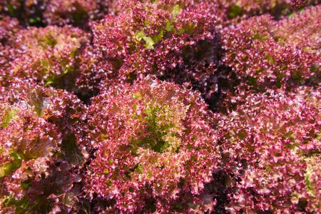 red coral lettuce salad growing garden hydroponic farm salad plants on water without soil agriculture in the greenhouse organic for heal