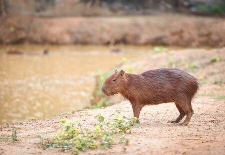Hydrochaeris hydrochaeris  Capybara in the national park