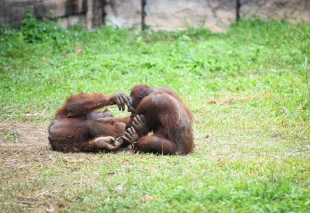 Orangutan family love and playing on green grass field  Banco de Imagens