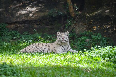 white tiger lying on a green grass field  royal tiger