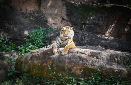 Bengal tiger lying on a rock  royal tiger