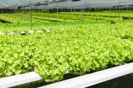 Hydroponic farm salad plants on water without soil agriculture in the greenhouse organic vegetable hydroponic system young and fresh green oak lettuce salad growing in the garden Stock Photo - 133543889