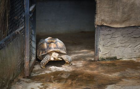 African spurred tortoise / Close up turtle walking in farm zoo Stock Photo