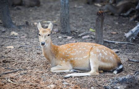 Spotted deer wild animal in the National park Other names Chital, Cheetal, Axis deer Stock Photo