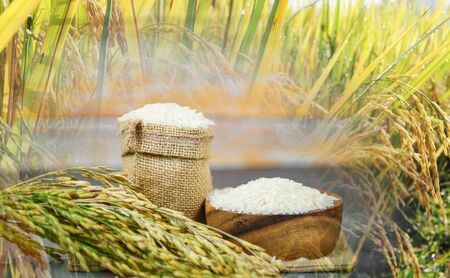 Thai rice white on bowl and the sack raw jasmine rice grain with ear of paddy field background agricultural products for food in Asian