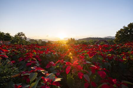 Landscape red poinsettia in the garden with sunset and mountain background / Poinsettia Christmas traditional flower outdoors decorations Merry Christmas