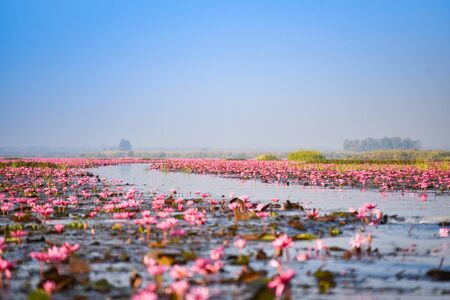 The lake river with red lotus lily field pink flower on the water nature landscape in the morning landmark in Udon Thani Thailand