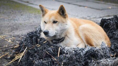 dog sitting on bonfire with ashes / Japanese Shiba Inu dog small size , sleep dog lonely animal homeless winter dog animals concept Stock fotó - 135494197