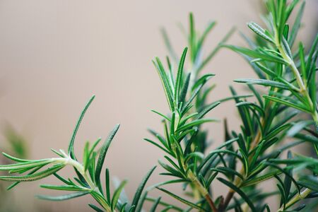 Rosemary plant growing in the garden for extracts essential oil  Fresh rosemary herbs nature green background , selective focus