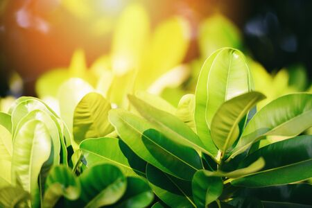 Natural green leaf on blurred sunlight  background in garden ecology fresh leaves tree close up beautiful plant in the nature forest summer - selective focus Stok Fotoğraf